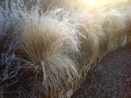 Eragrostis January