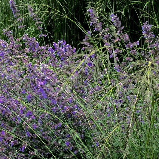 Eragrostis and nepeta
