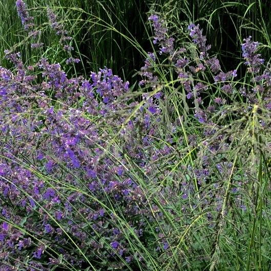 Eragrostis and nepeta