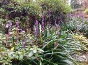 Pinetum Park liriope