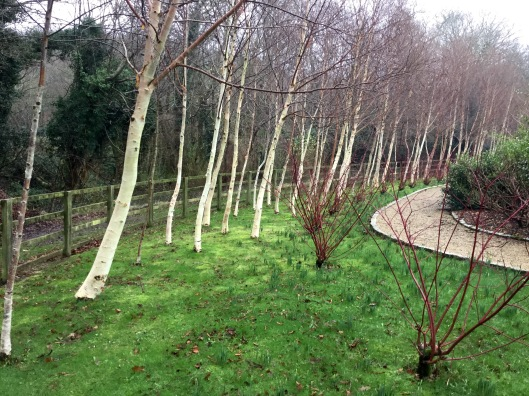 Birches and Cornus