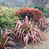 Winter garden pyrocantha and Phormium
