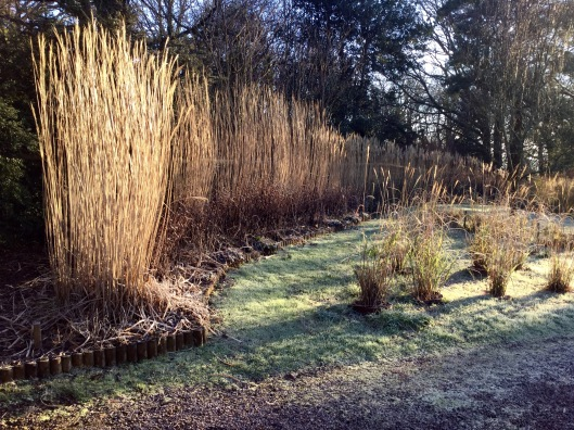 Miscanthus hedge frost