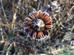 Rudbeckia frosted