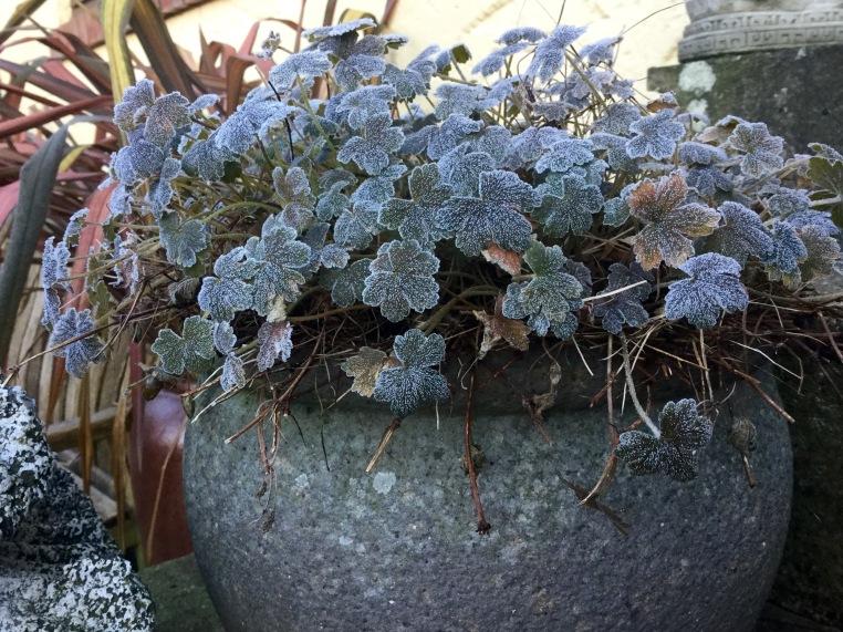Geranium 'Sanne' January