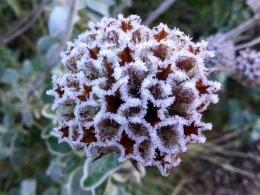Phlomis January frost