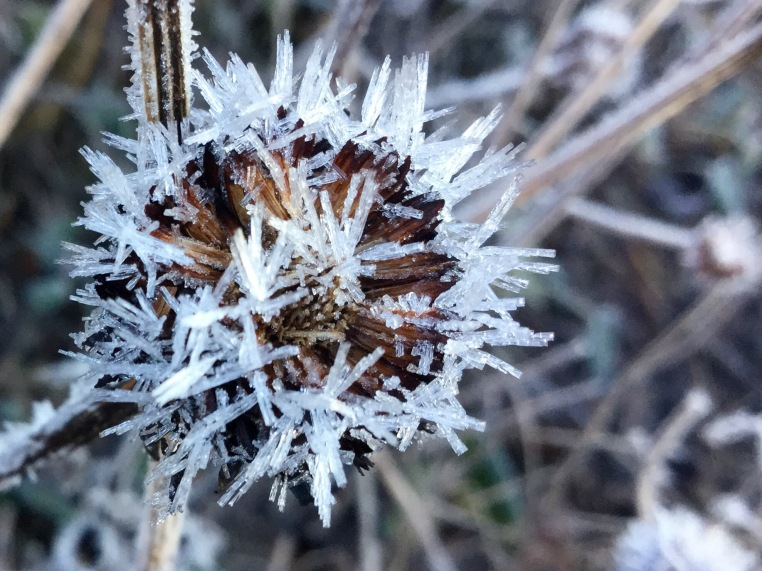 Rudbeckia frosty crystals