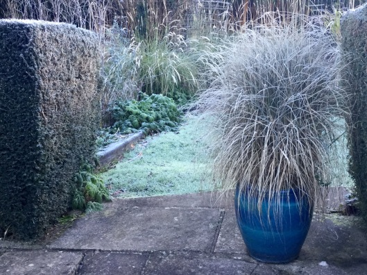 Pennisetum fairy tails frost January