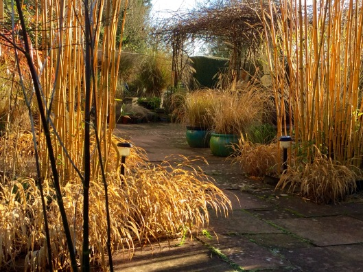 Hakonechloa January sunshine