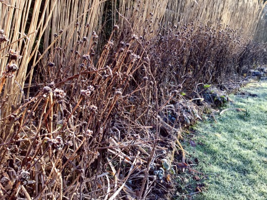 Miscanthus rudbeckia frost