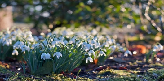NGS SNOWDROPS