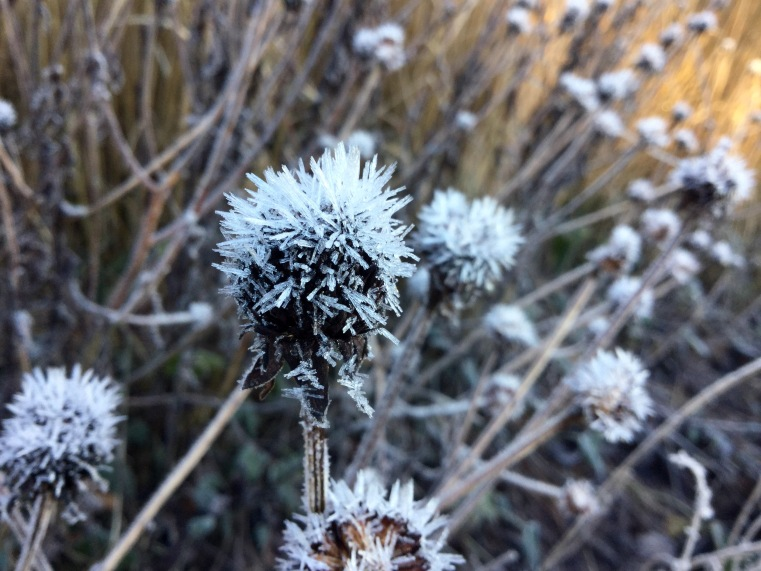 Rudbeckia frosted meadow
