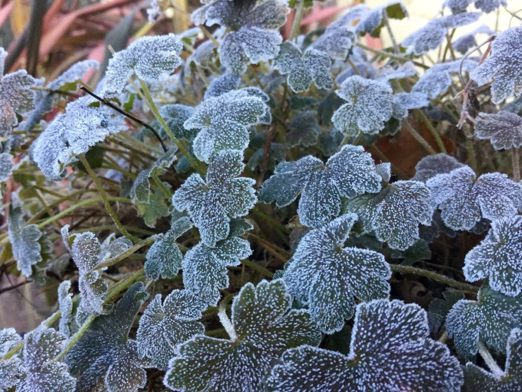 Frosted leaf geranium sanne