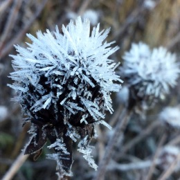 Rudbeckia frost crystals