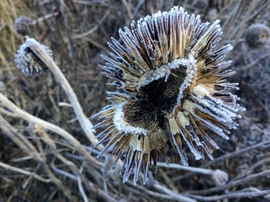 Split echinacea cone