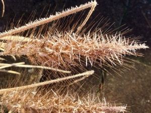 Hoar frosted seed head
