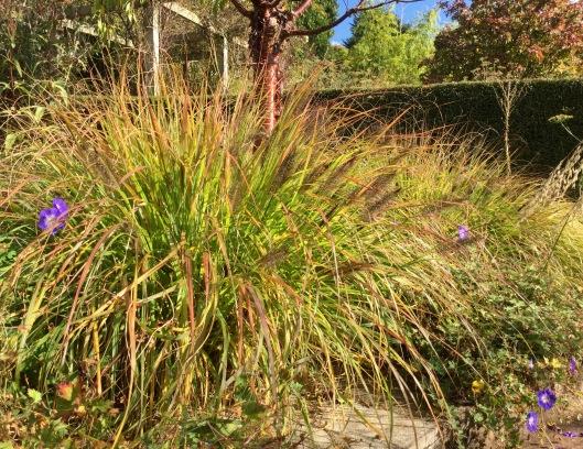Pennisetum alopecuroides black beauty autumn