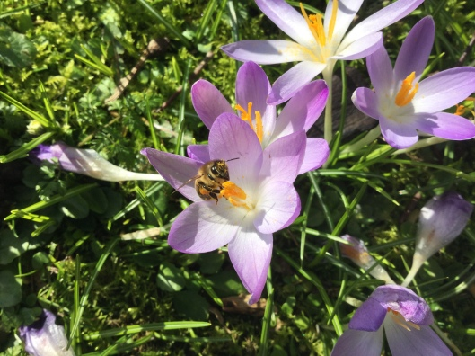 Crocus tommasinanus and bee