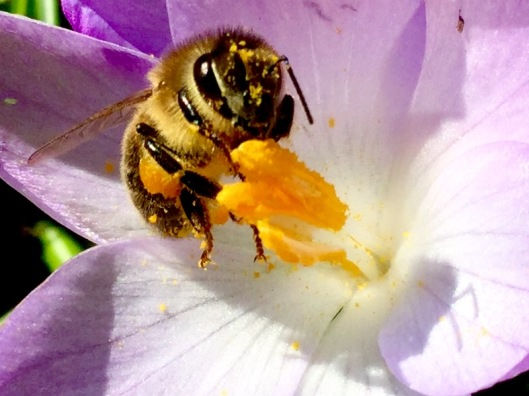Bee collecting pollen/ nectar from crocus