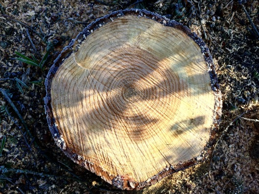 Blue cedar stump 2016