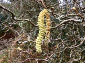 Catkins wordless Wednesday