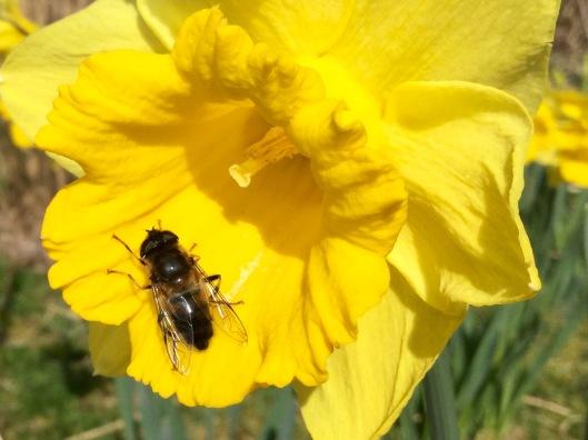 Bee on daffodil