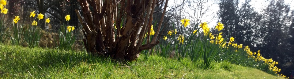 Daffodils lining the drive