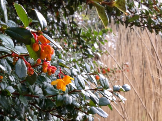 Orange berberis flower and bleaches miscanthus