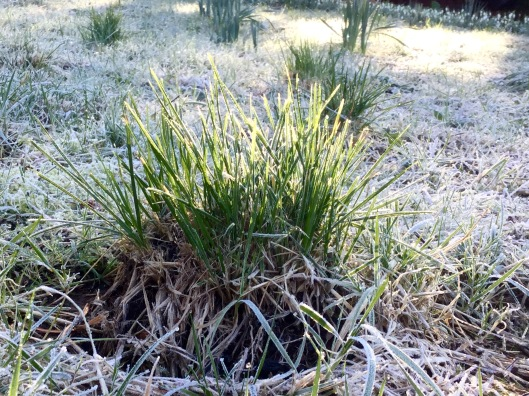 Deschampsia rough grass February 2016