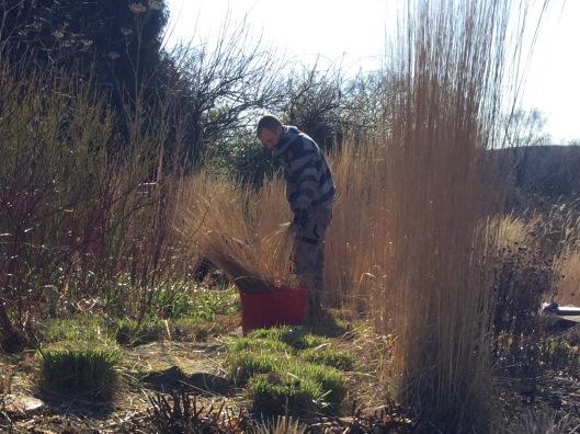 Cutting back Calamagrostis February 2016