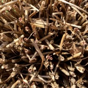 Miscanthus crown after pruning