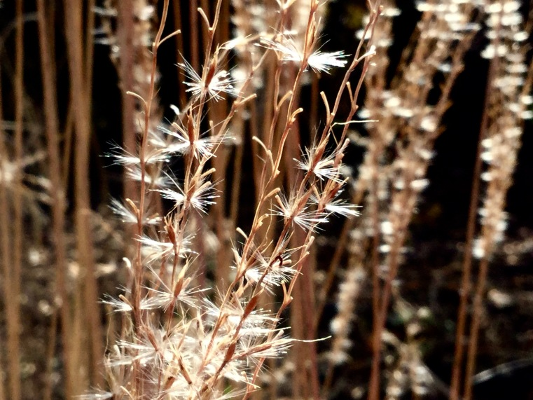 Miscanthus seedhead