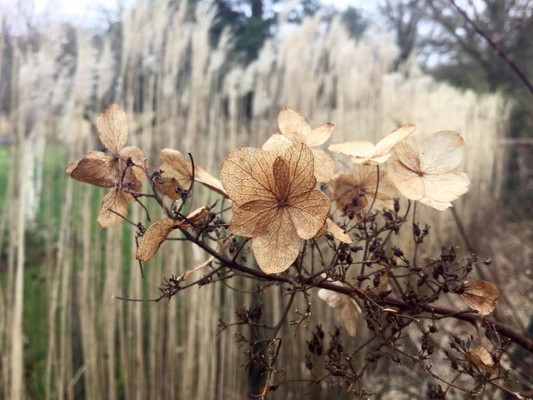 Miscanthus and hydrangea paniculata