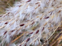 Fluffy Miscanthus seedhead