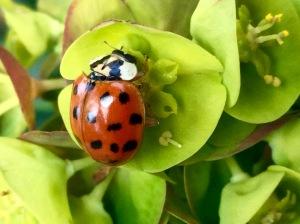Harlequin ladybird on euphorbia robbiae