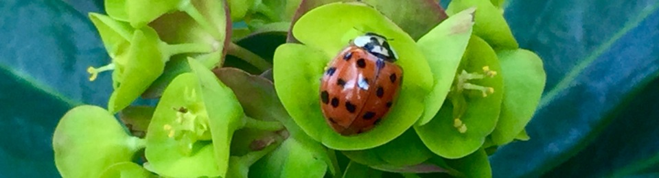 Barn house harlequin ladybird