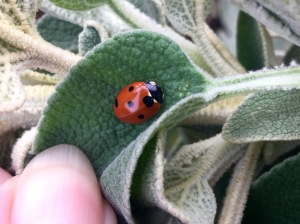 Native 7 spot ladybird on phlomis fruiticosa