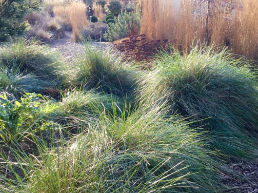 New growth Stipa gigantea late winter 2016