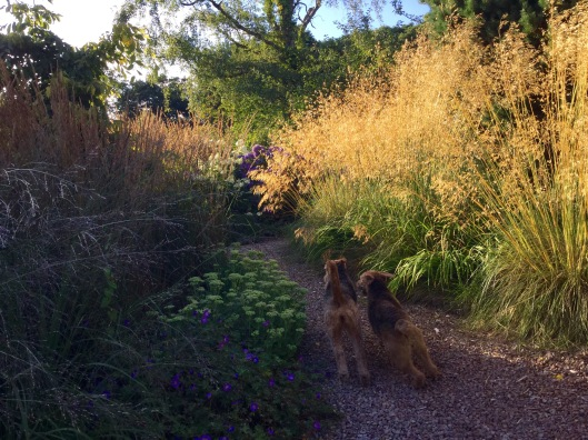 Dogs racing past backlit Stipa summer 2015