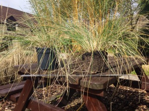 Stipa seedlings April 2016