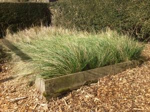 Ground grown Stipa seedlings April 2016