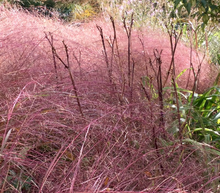 Anemanthele with day lily stems August 2015