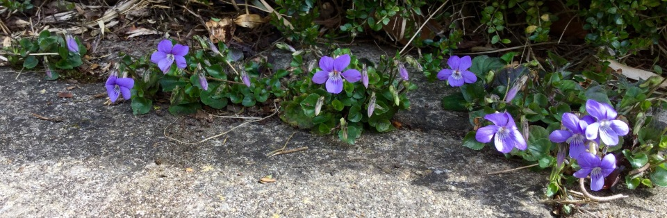Violets in a row under Lonicera hedge