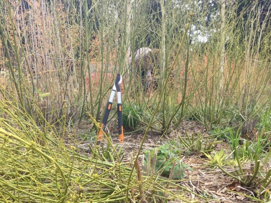 Pruning cornus mid April 2016