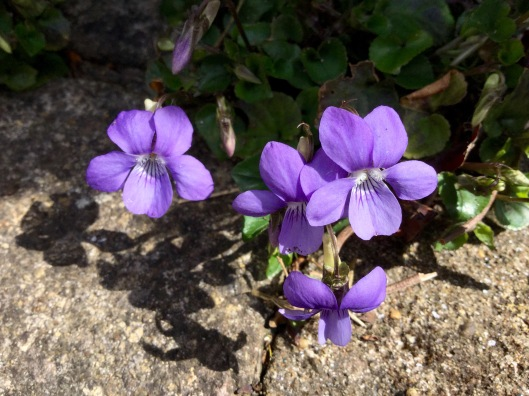 A chain of violets in the paving