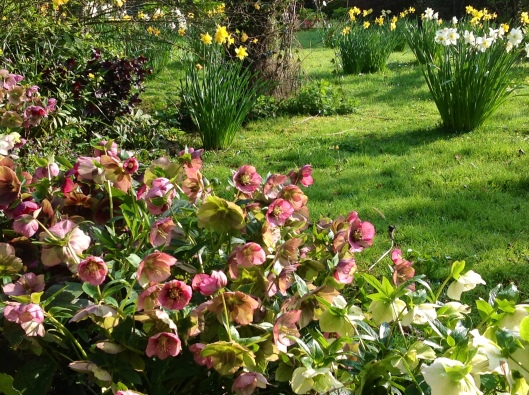 Orchard daffodils
