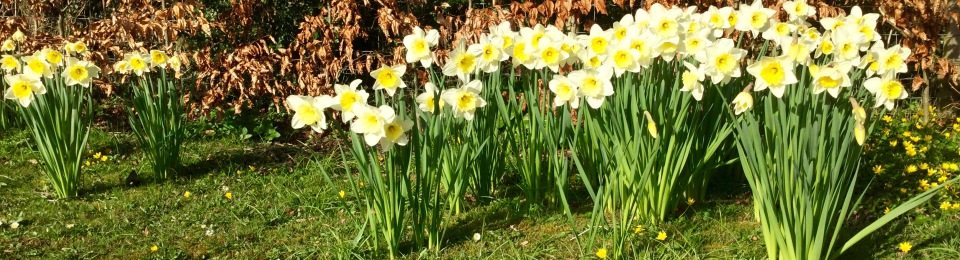 Barn house spring daffodils