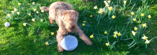 Dog in a patch of wild daffodils