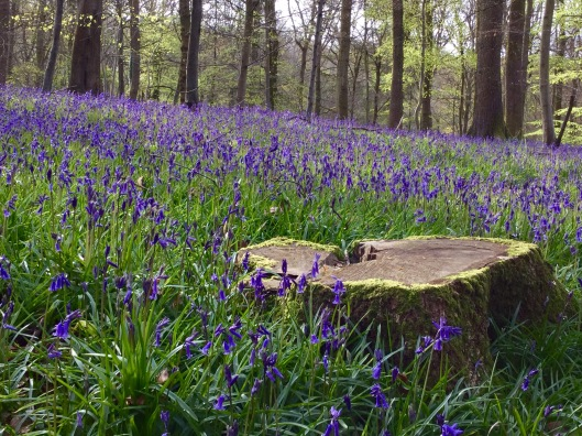 Bluebell woods late April