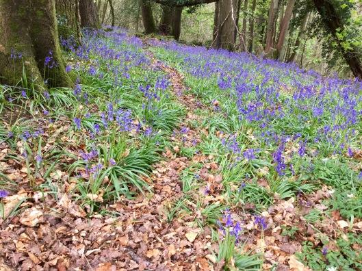 Bluebells Hudnalls woods